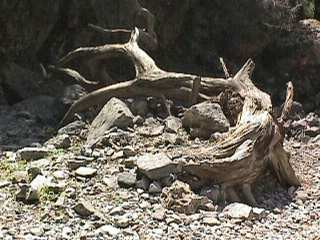 Dead tree in Imbros Gorge